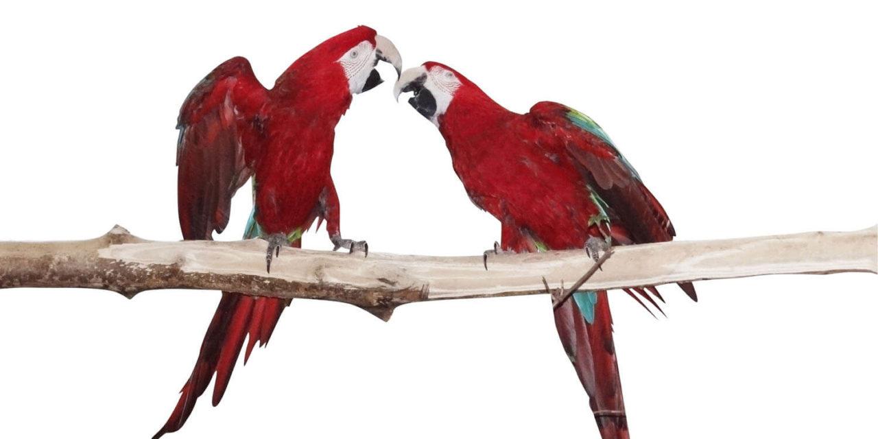 Papageien im Feistritztal