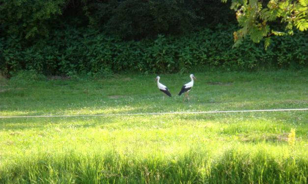 Storchennachwuchs in Zöbern